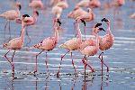 Flamencos_enanos_en_Parque Nacional Lago Nakuru_Kenia_150
