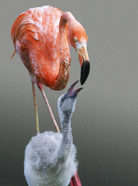 Flamingo Chick Feeding