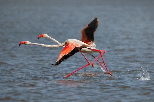 flamingo running
