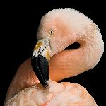 Flamingo in Black Background