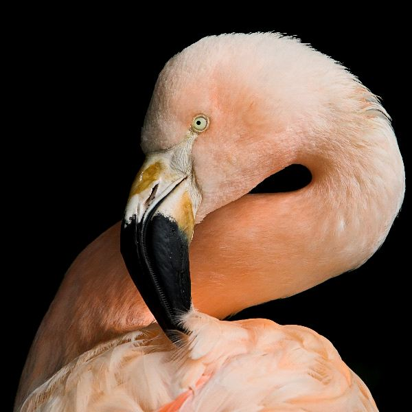Flamingo in Black Background - Flamingo Facts and Information