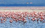 Flamingos On Lake