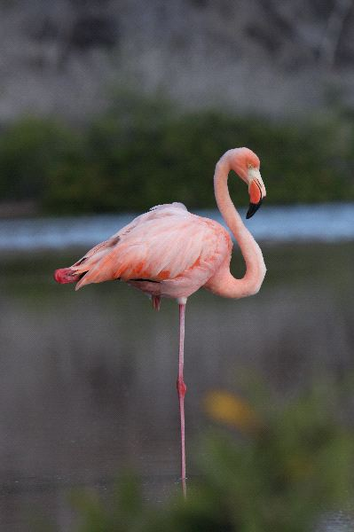 Galapagos Greater Flamingo At Rest