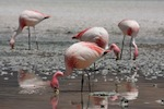 Jamess_Flamingo_Feeding_150