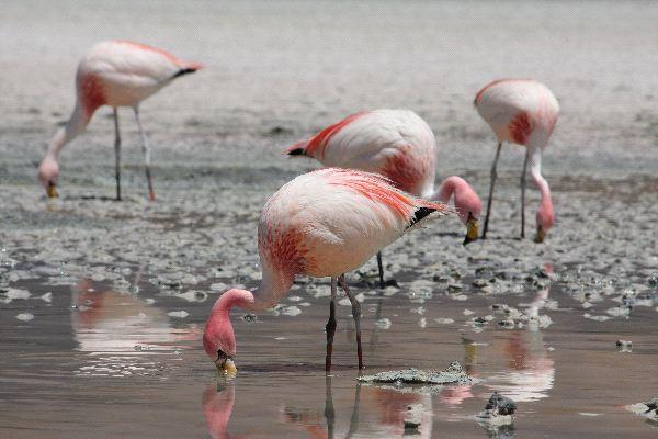 Jamess_Flamingo_Feeding_600