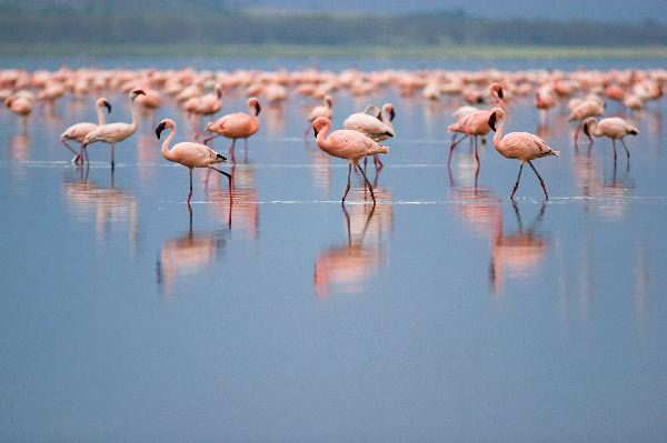 Lesser Flamingos At Nakuru Lake
