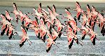 Lesser Flamingos Flying Low