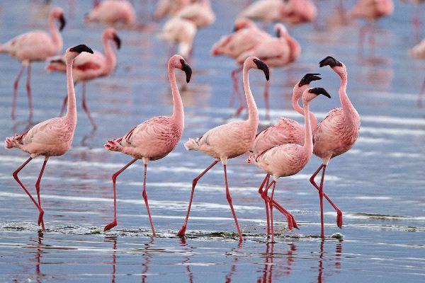 Flamencos_enanos_en_Parque_Nacional_Lago_Nakuru_600
