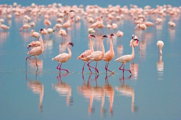 Lesser Flamingos Walking At Nakuru Lake