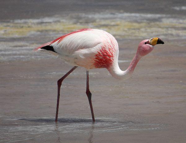puna flamingo or james s flamingo   flamingo facts and information