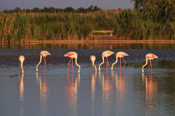 Small Flock Of Greater Flamingoes Eating At Sunset