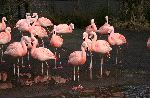 The Pinkish Chilean Flamingo