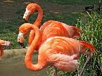 Two American Flamingos