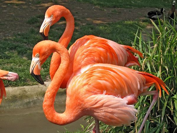 Two American Flamingos