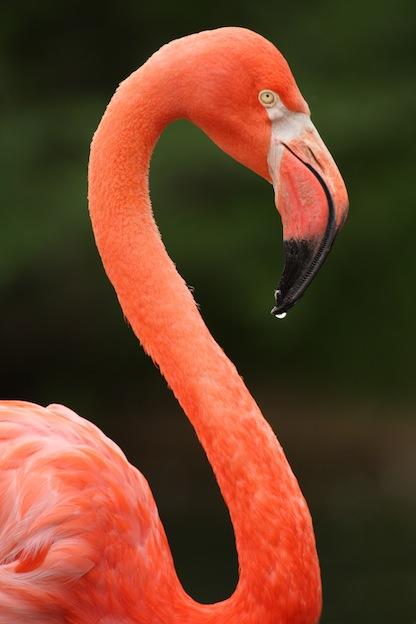 American Flamingo Characteristics