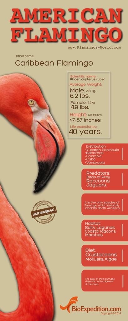 american_flamingo 1700