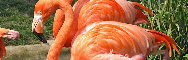 Flamingos in Captivity
