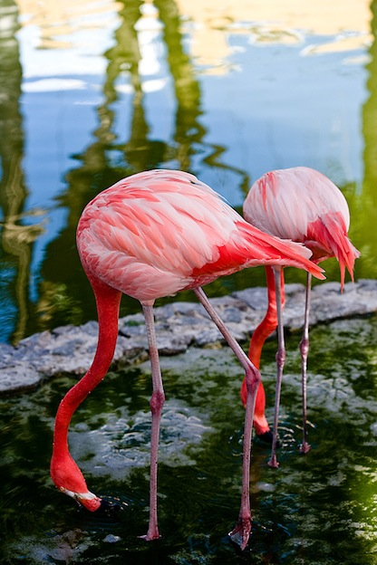 What do Flamingos Eat?