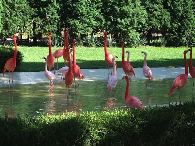 Flamencos en zoológicos.