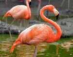hermoso_flamenco_posando_150