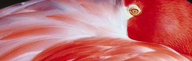 Flamingo Information