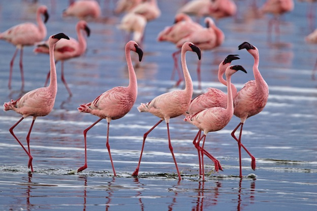 Grupo de flamencos enanos (Phoenicopterus minor).