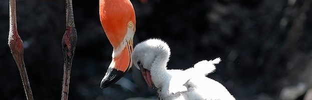 Flamingo Reproduction