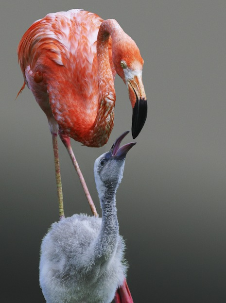 Information about the reproduction of flamingos