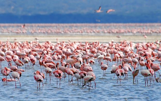 Flamingos social behavior